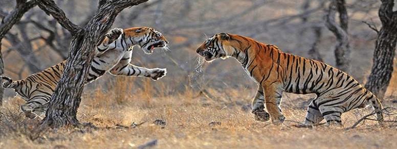 wildlife-tiger-reserve-mudumalai.jpg