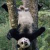 Панда-медведь