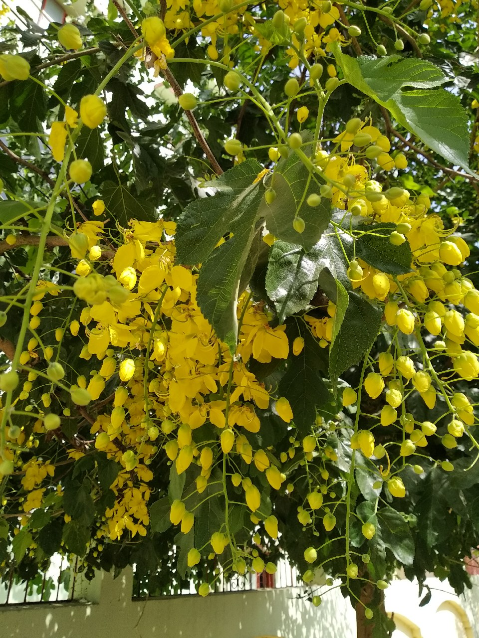 Amaltash Tree With Beautiful Flowers Photography Mi Community