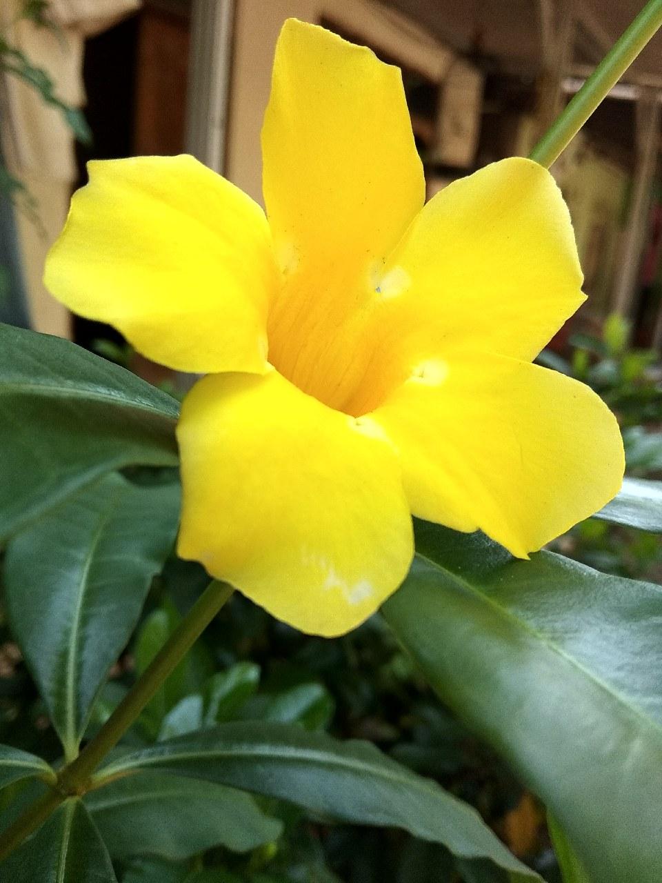 80+ Gambar Bunga Alamanda Terbaik