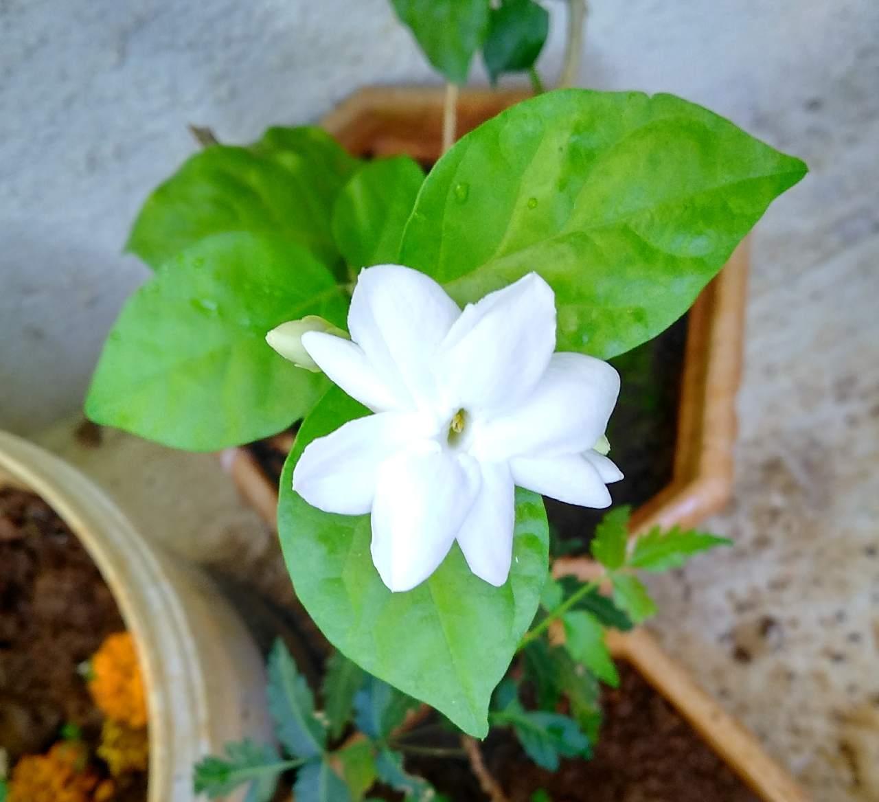 mogra flowers photography mi community xiaomi