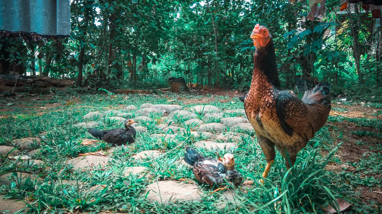 63 Gambar Ayam Sedang Makan Terlihat Keren