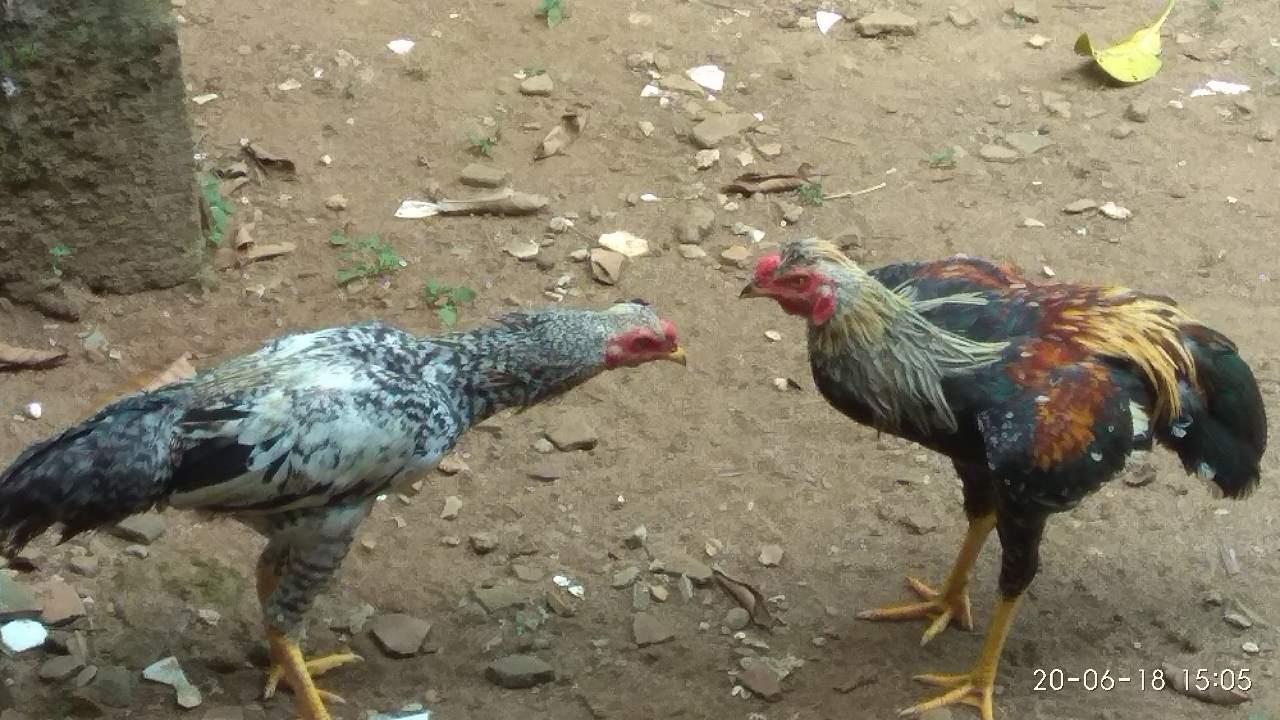 Ayam Jantan Dan Betina Lagi Ngobrol Fotografi Mi Community Xiaomi