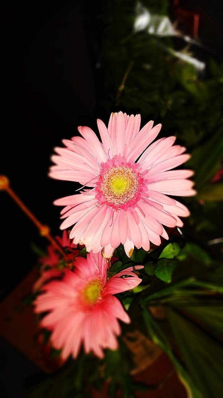 Click By Redmi Note 5 High Quality Wallpaper In Pink Flowers