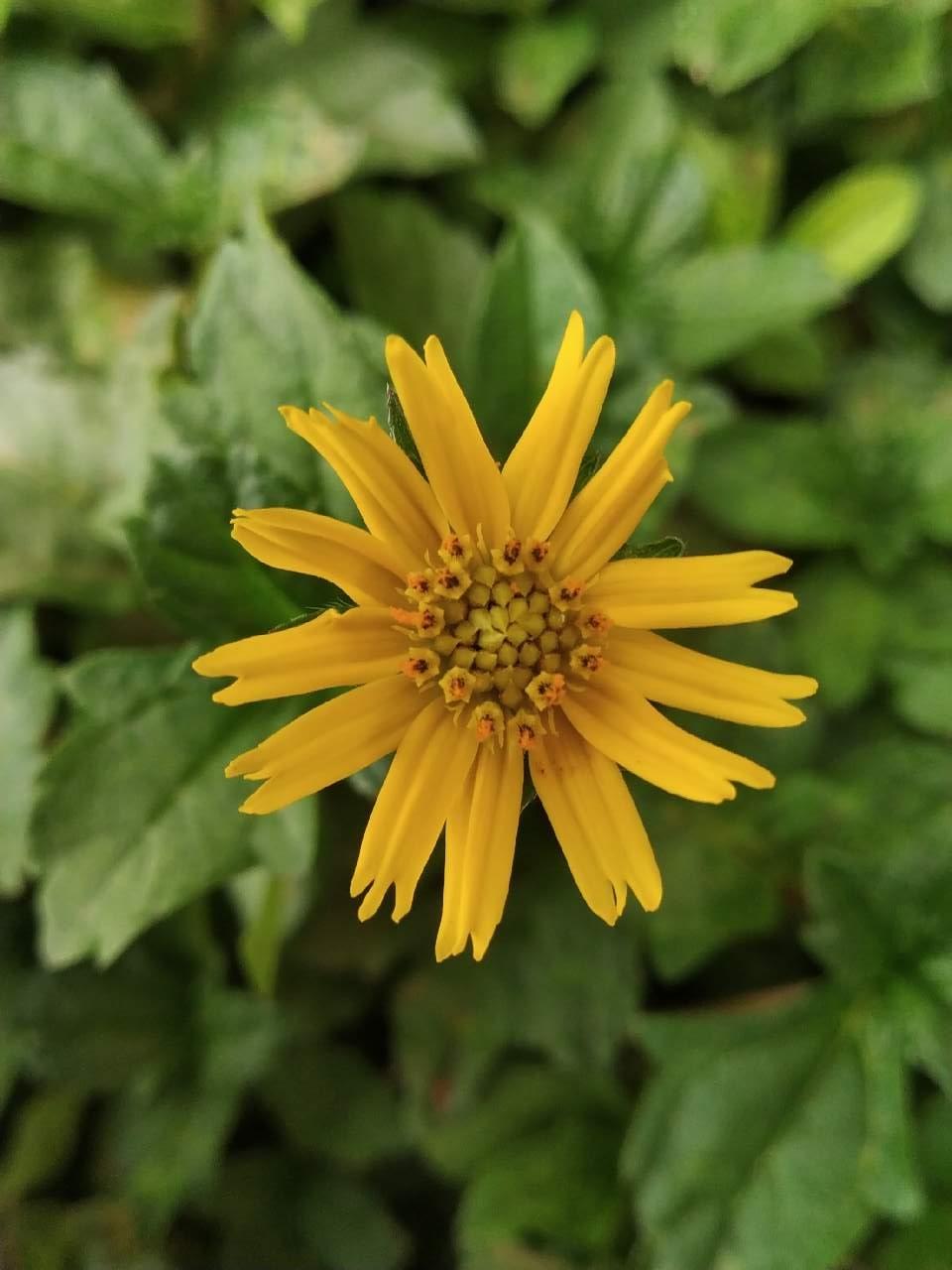 Jacobaea vulgaris is a very beautiful flower photography mi jacobaea vulgaris is a very beautiful flower izmirmasajfo