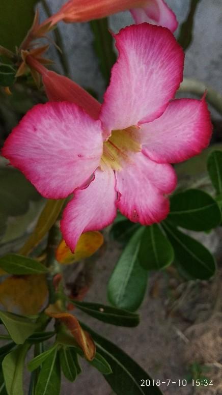Download 580 Koleksi Gambar Bunga Dan Nama Latinnya Gratis Terbaik
