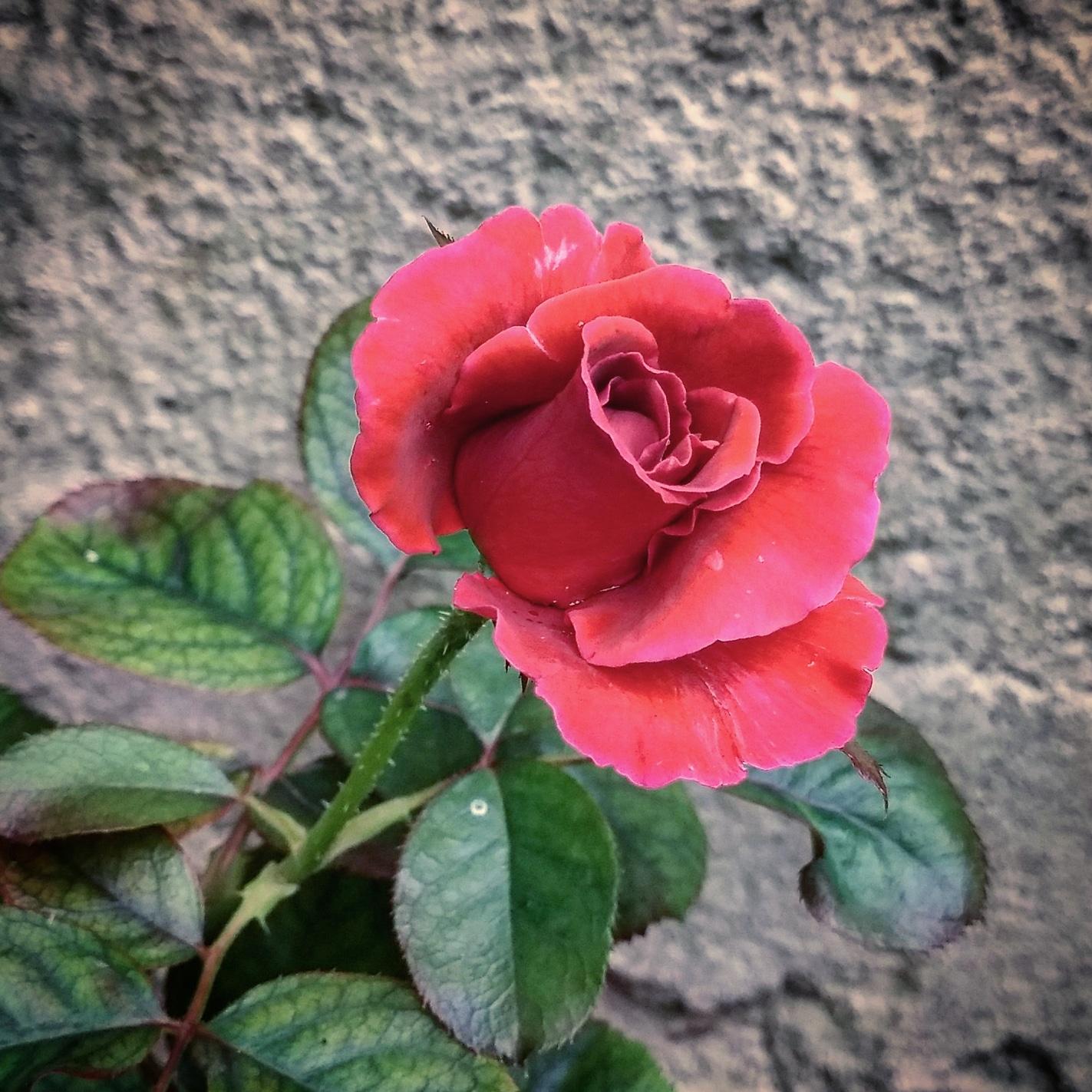 Flower Beauty Rose Flower Photography Mi Community Xiaomi