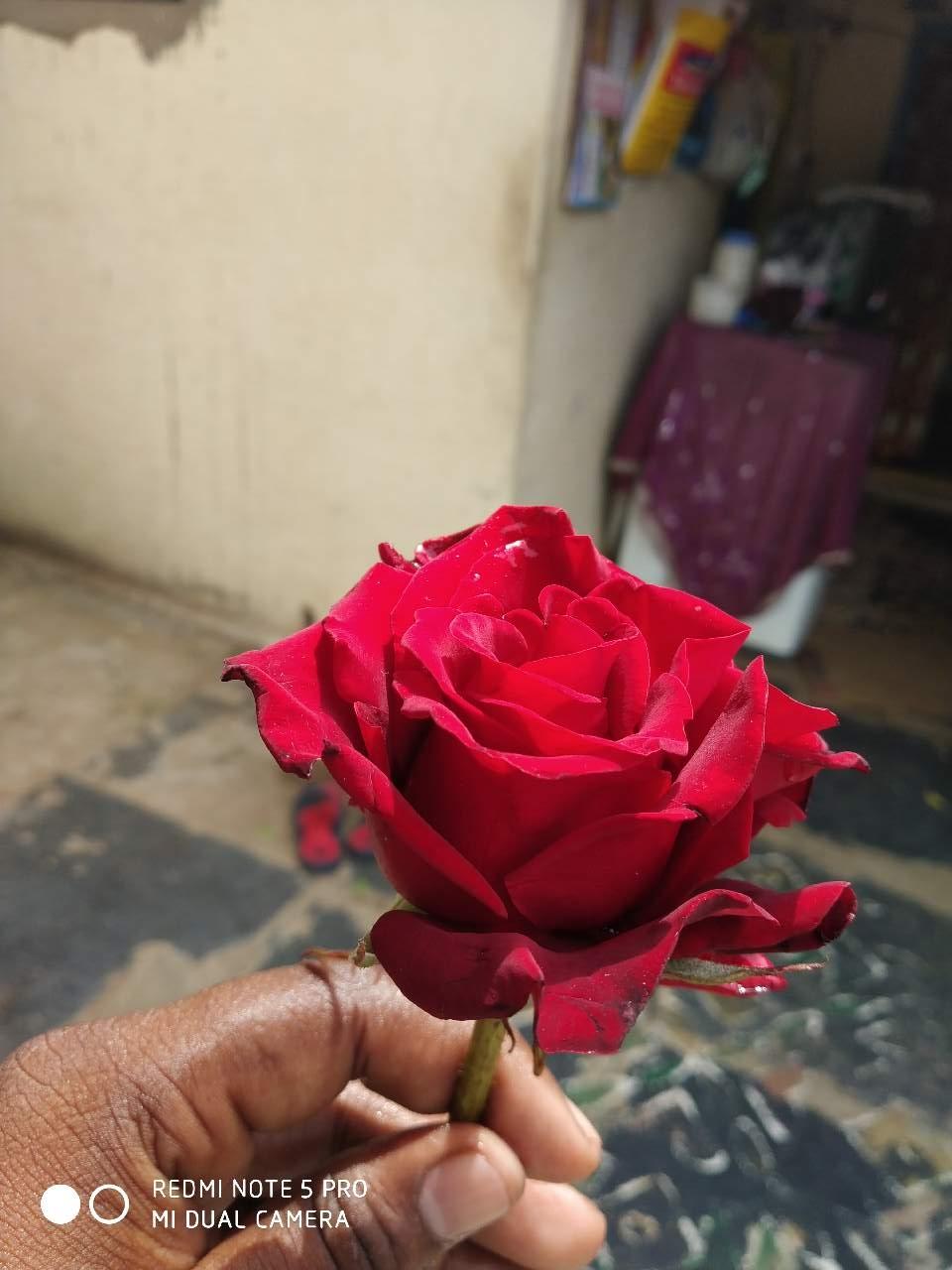 Beautiful Rose For A Beautiful Girl Photography Mi Community
