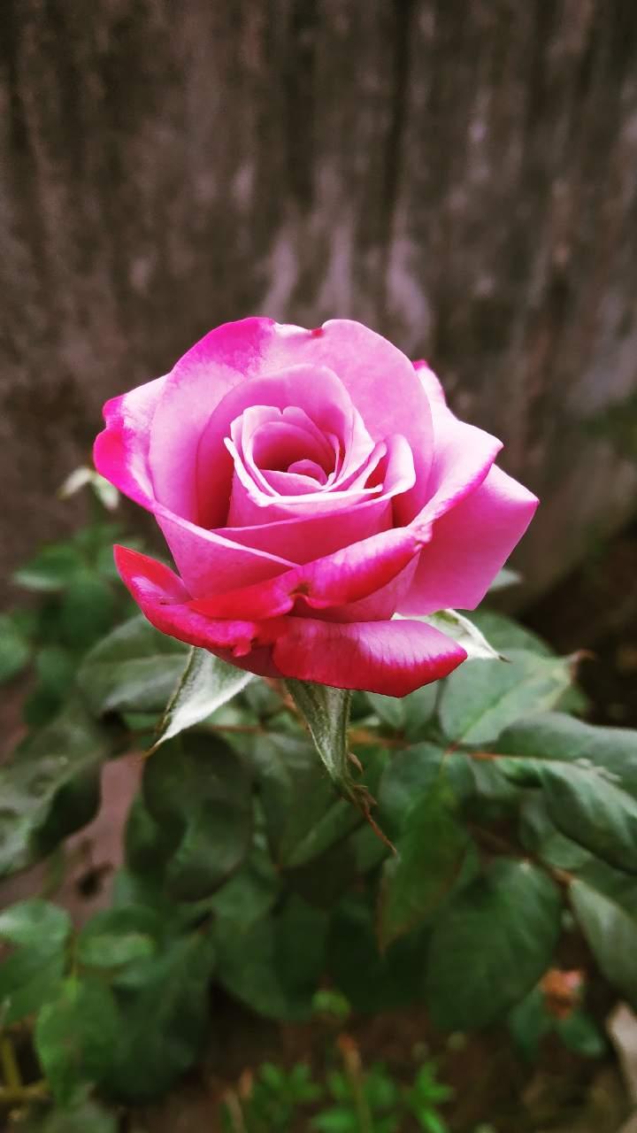 Red Rosembol Of Love Photography Mi Community Xiaomi