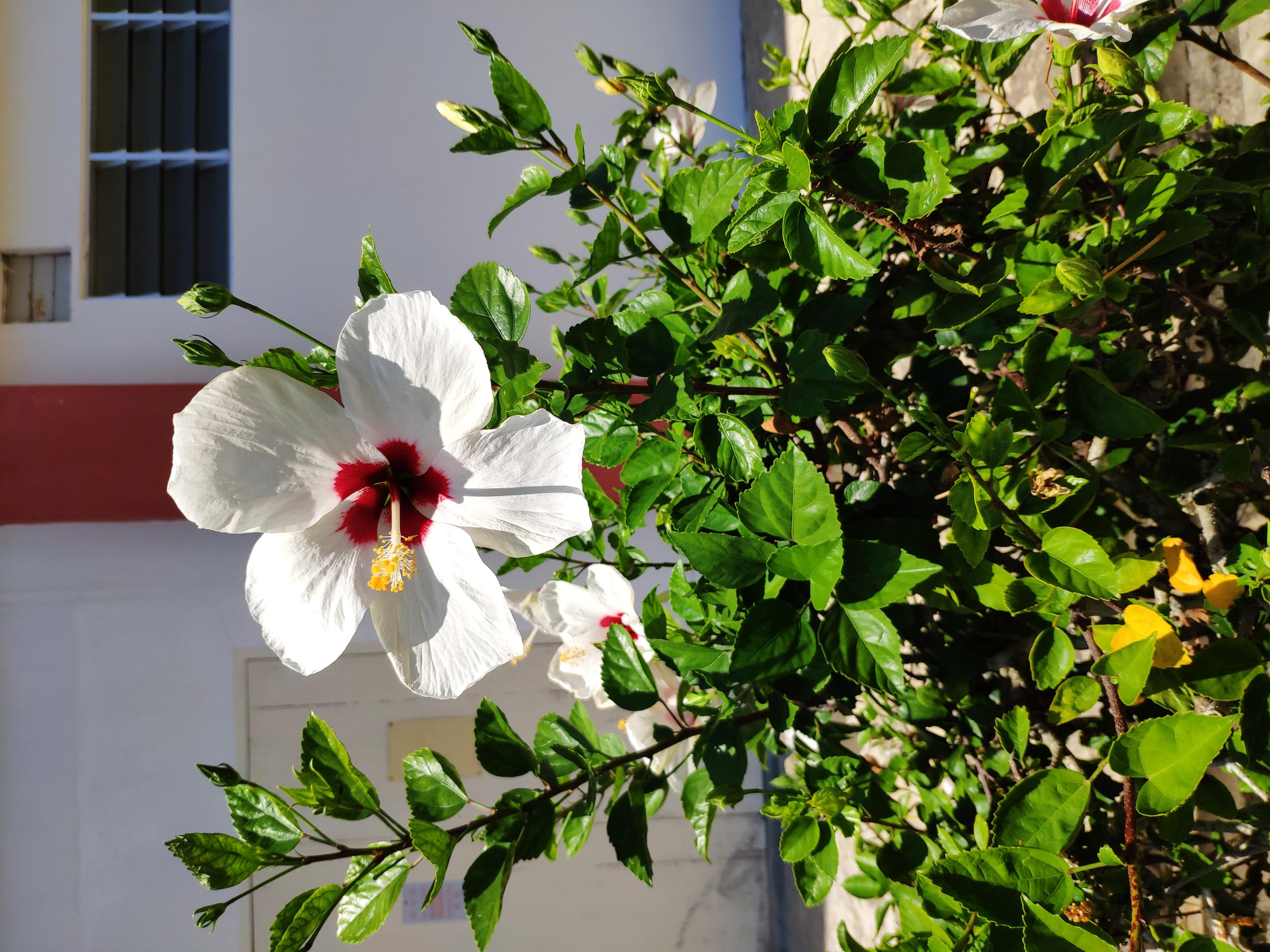 87+ Gambar Bunga Raya Putih Terlihat Keren
