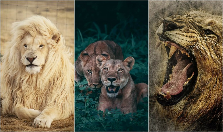 Mi Resources Team] The Lion King